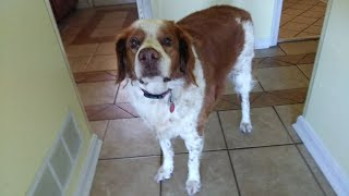 25 years of owning a Brittany Spaniel