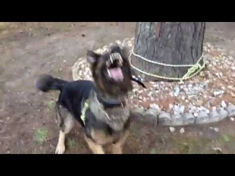 Protection Dog Training Barking On Command