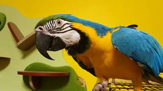 Реакция попугая ары на хозяйку с маской на лице