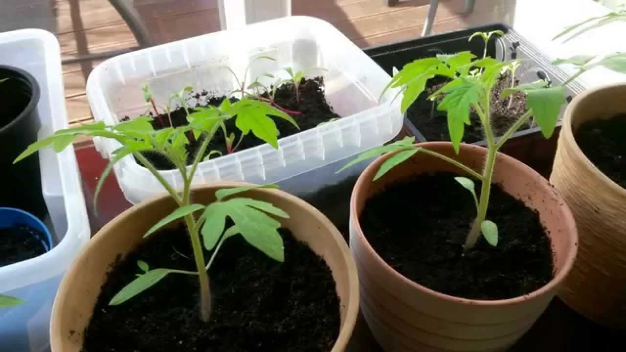 meine tomaten von m rz bis juni vom samen zum strauch. Black Bedroom Furniture Sets. Home Design Ideas