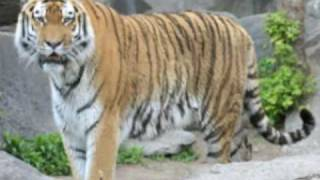 The Caspian Tiger