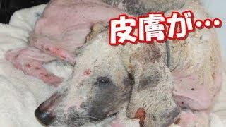 皮膚が剥きだしの野良犬!痩せ衰えた犬が美しい姿を手に入れるまで thumbnail
