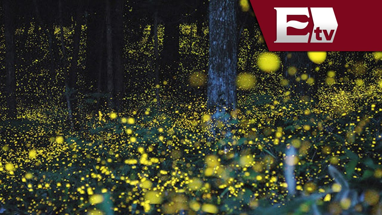 Fant stico avistamiento de luci rnagas en los bosques de for Espectaculo de luciernagas en tlaxcala
