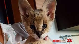 Котенок за полмиллиона рублей вставлен на продажу во Владивостоке
