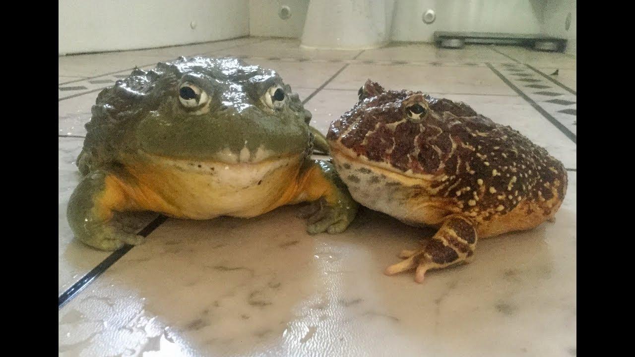 African Bullfrog Vs Pacman Frog Feeding Youtube