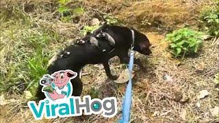 孤児となったオポッサムの赤ちゃんたちを背中で育てる犬(ブラジル)