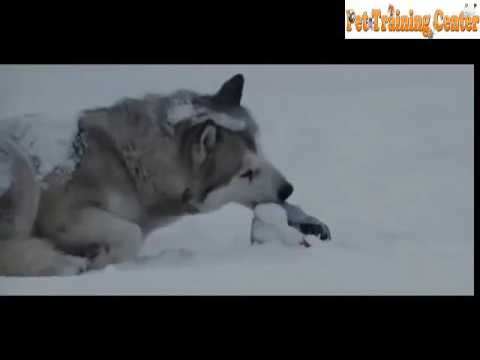 Touching story about puppy dogs in Antarctica-Eight Below film