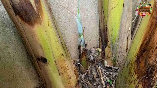 Mudas de Bananeira, tudo orgânico e sem agrotóxico – Como Fazer