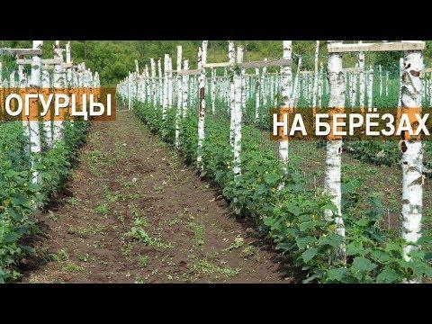 Технология выращивания огурцов в открытом грунте. Огурцы на шпалере. КФХ Кончиц.
