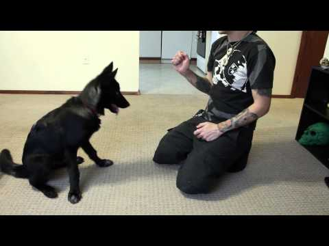 Training Luna the Wolfdog - Sit, Lay, Roll Over, Give Paw & Touch