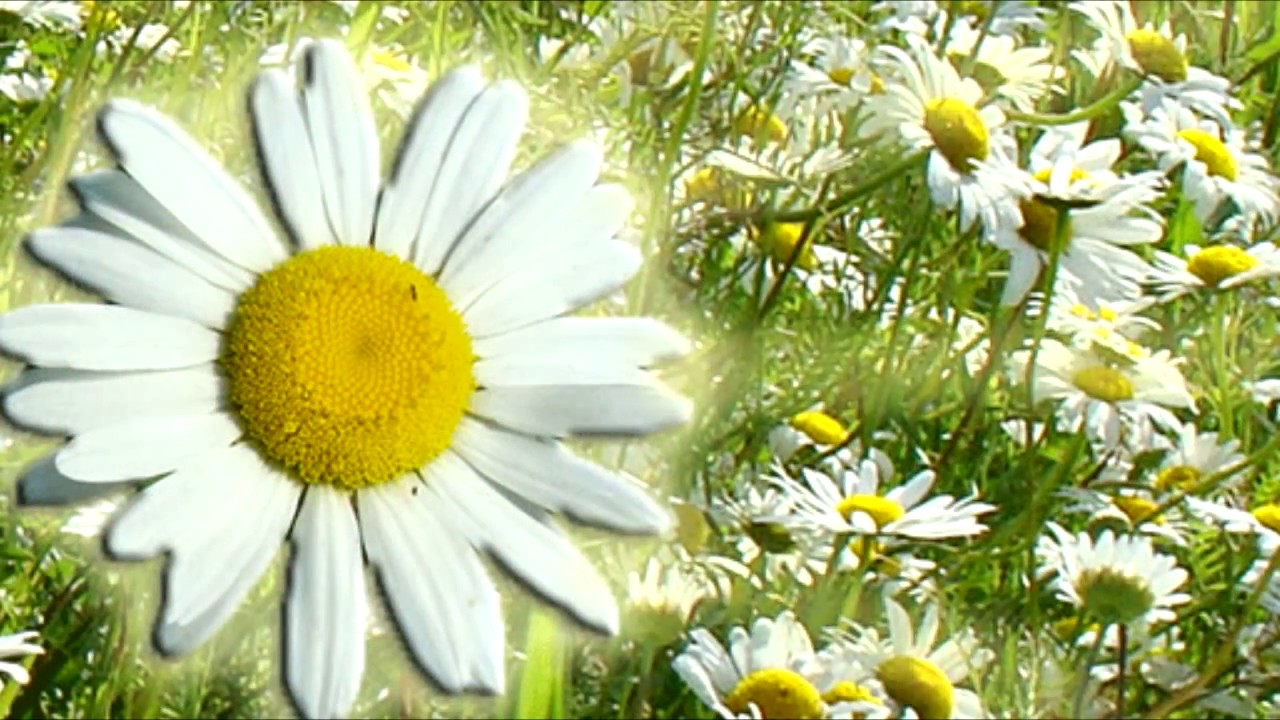 Приходе, цветы ромашки картинки анимация