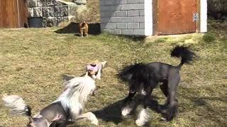 Chinese crested puppies 7 weeks