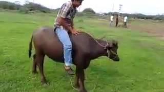 Maraadi comedy video | Whatsapp video | Fune maraadi 2016