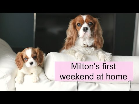 Puppy's first weekend at home |Herky & Milton | Cavalier King Charles Spaniel