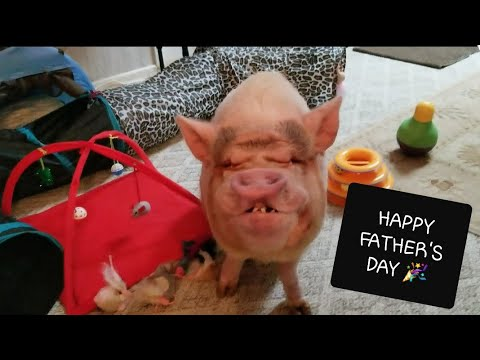 SAMMY THE MINI PIG SITS ON COMMAND 🎉