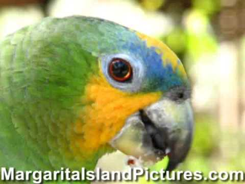 Laberinto Tropical Wildlife Sanctuary - Green Parrot - Margarita Island, Venezuela, South America