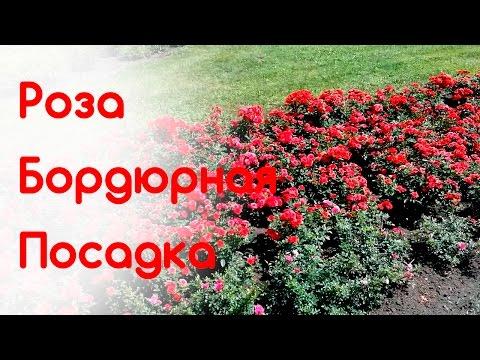 Осенняя посадка бордюрной розы