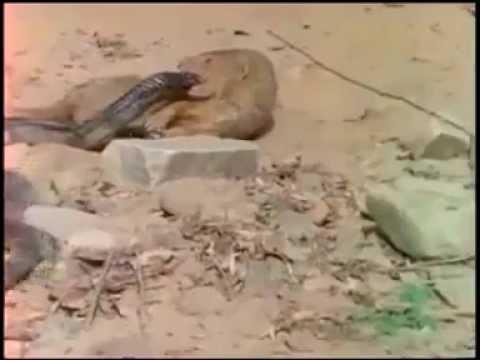 Thế giới động vật - cuộc chiến sinh tử giữa rắn hổ mang và chồn