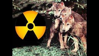 Логово с волчатами в заброшенном доме [Чернобыльская зона]