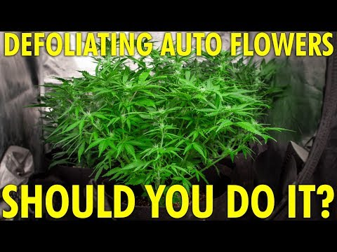 Pros and Cons to Defoliating Autoflowers – White Widow Budget Grow Week 7