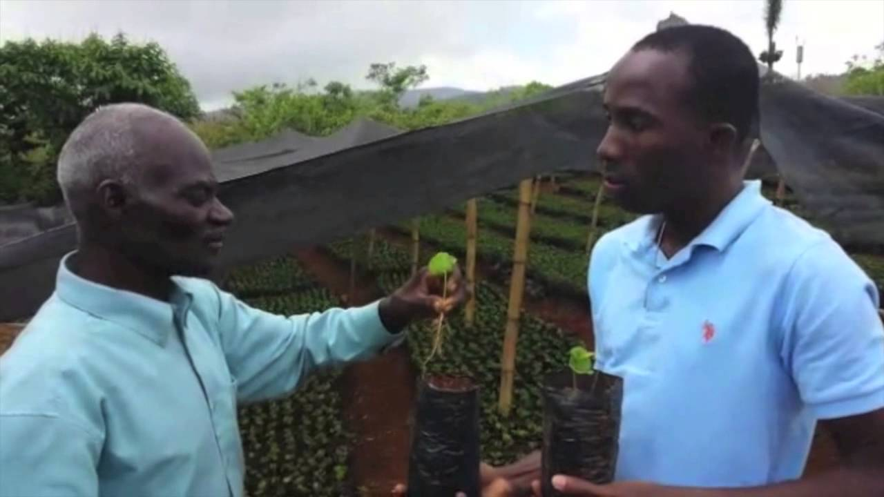 "voila comment on plante le ""café baptiste"" (café haitien). - youtube"