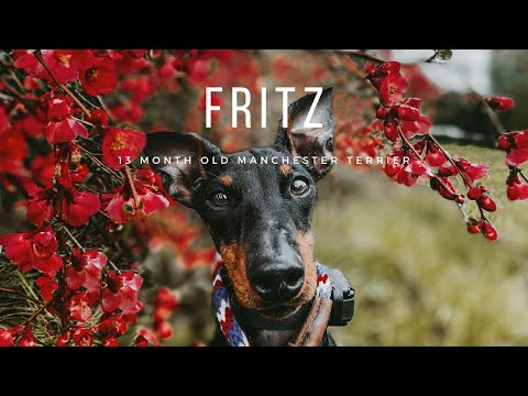 Best Allentown Dog Trainers ||| 13 Month Old Manchester Terrier, Fritz