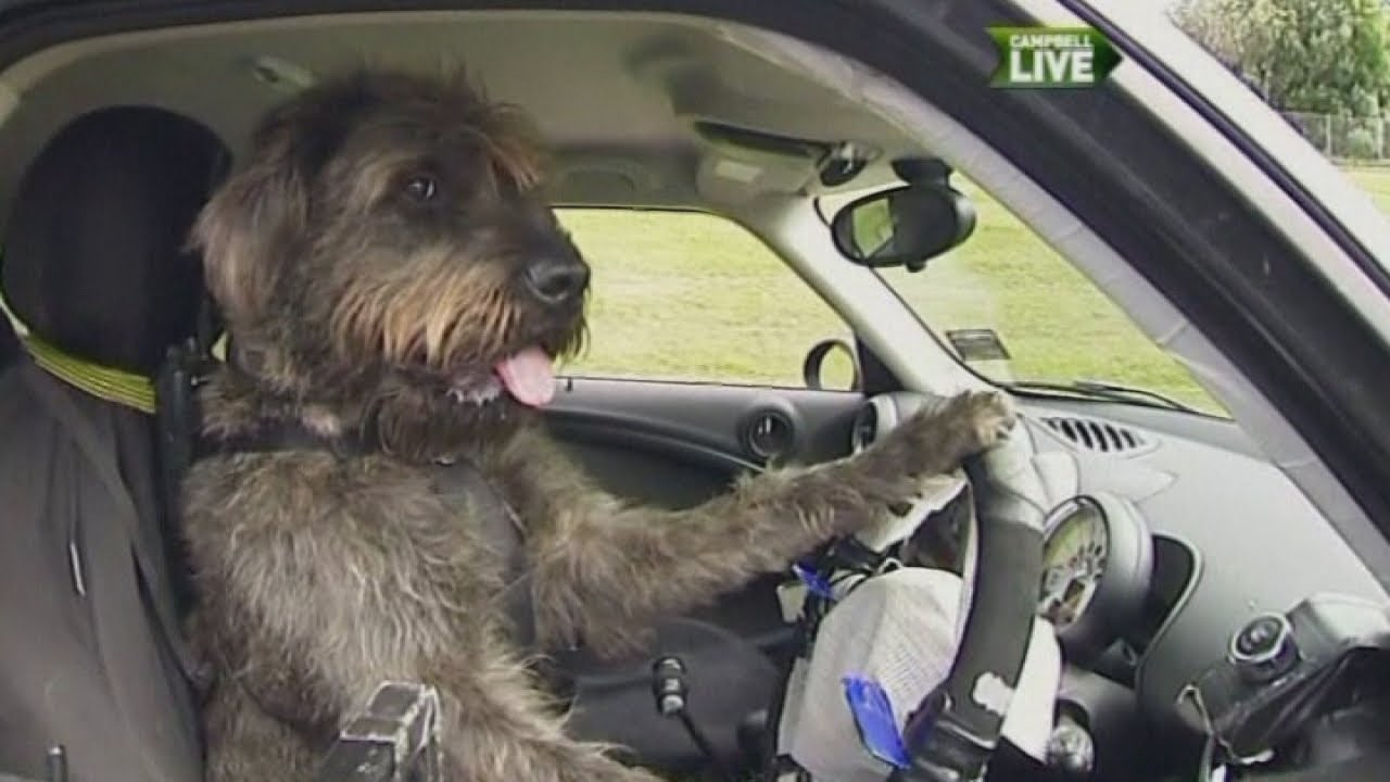 dogs learn to drive a car in new zealand youtube. Black Bedroom Furniture Sets. Home Design Ideas