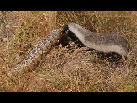 Thumbnail: Snake Killers: Honey Badgers of The Kalahari [Nature Documentary]
