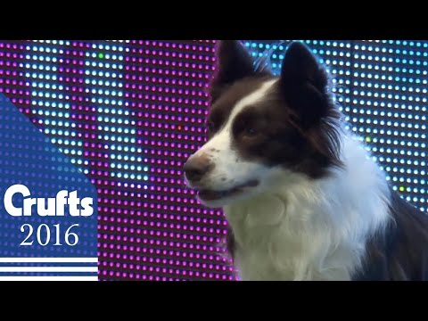 Agility - Crufts Single Final: Small, Medium and Large - Agility | Crufts 2016
