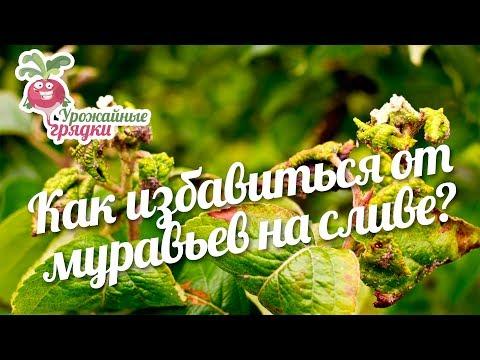 Алыча: сорта для средней полосы России - Сады Сибири