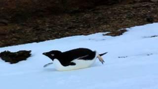 オングルカルベンに生息するアデリーペンギン