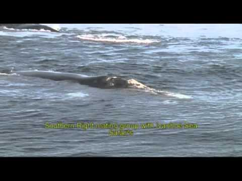 Southern Right Whale mating group