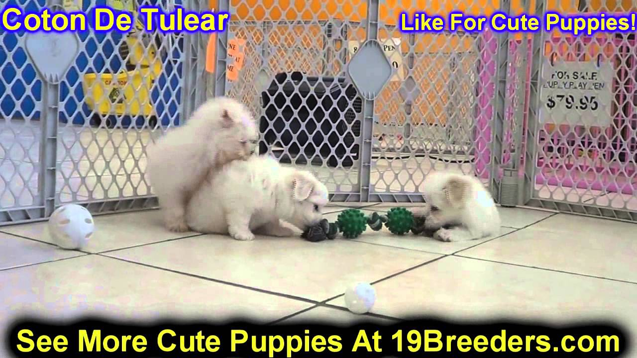 Coton De Tulear, Puppies, Dogs, For Sale, In Jersey City ...