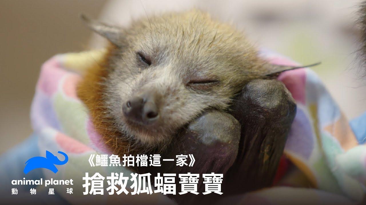 野火全燒盡,狐蝠想求生 動物星球頻道
