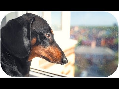 I can't wait to see you... Funny dachshund dog video!