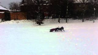 Staffordshire Bull Terrier In Snow Fight!!!