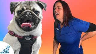 Small Dog Training  The Back Saving Secret That Professional Dog Trainers Know