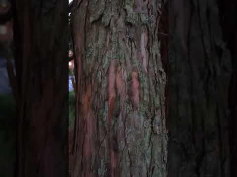 Giant redwood (Sequoiadendron giganteum) - bark close up - January 2018