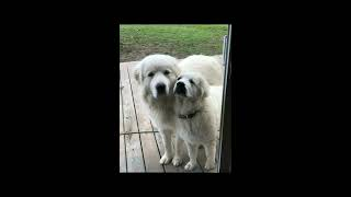 Life Of A Great Pyrenees