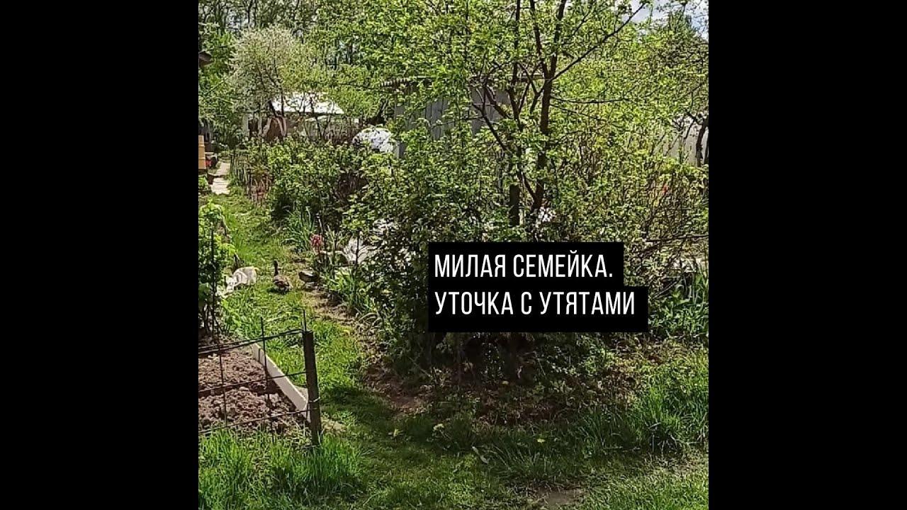 Уточка с утятами гуляют по огородам - YouTube