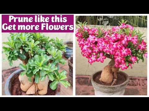 Adenium Pruning Tips