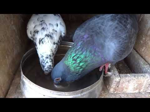 How to put a drinking water for high flying pigeons