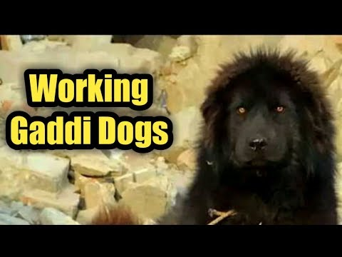 "Working Gaddi Dogs In Himachal Pradesh ""The Real Guard Dogs"""