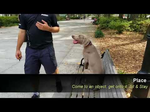 Hunting Dog Obedience.  Steve, a 6 month old Weimaraner, before and after obedience training