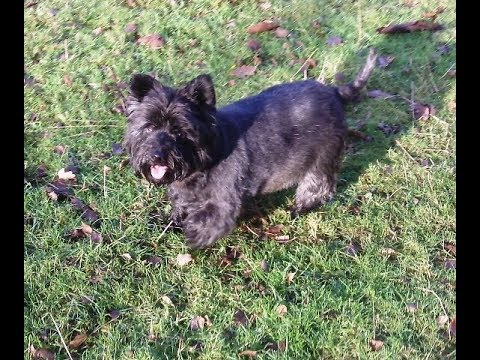 Cairn Terrier Fergus.