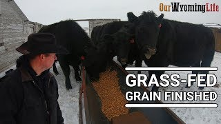 how-we-finish-steers-on-the-ranch-grass-fed-grain-finished