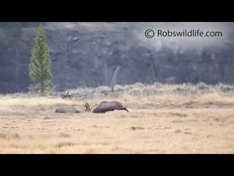 Elk Rut in Yellowstone National Park
