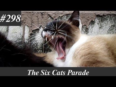 Siamese cat chirping and yawning