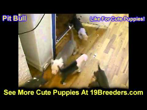 Pitbull, Puppies, For, Sale, In, Cincinnati, Ohio, OH, Westerville, Huber Heights, Lima, Lancaster,