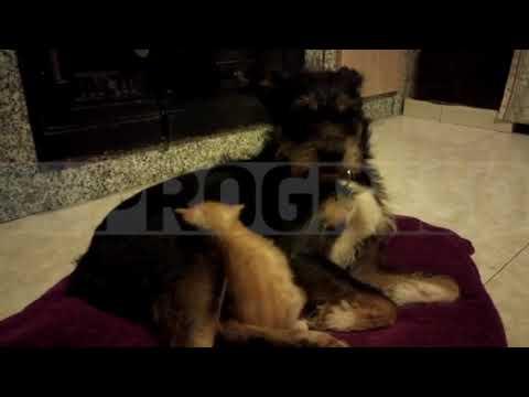 Una perra de Ribadeo que nunca fue madre amamanta a un gato abandonado
